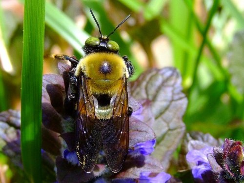 green-eyed bumblebee on ajuga