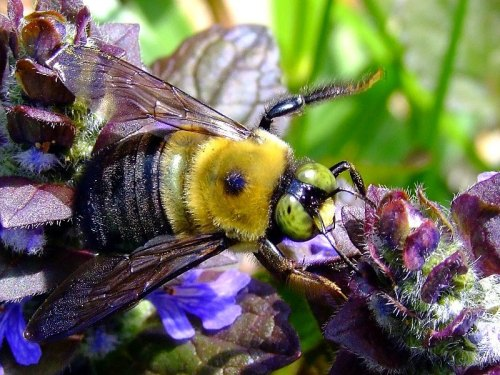 bumblebee on ajuga flower