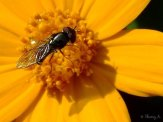 tiny bee on coreopsis flower