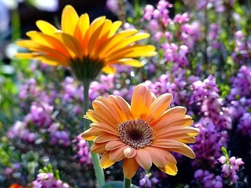 Gerbera daisy and mediterranean heather