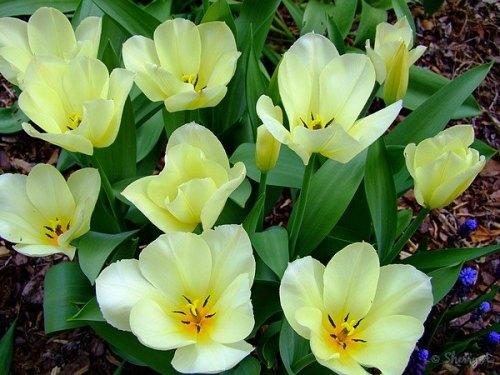 open yellow tulips
