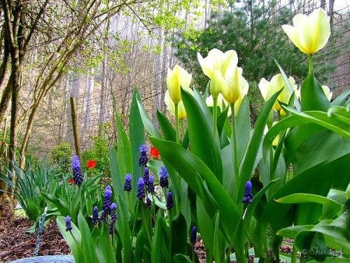 yellow tulips and grape hyacinths