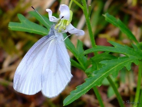 west virginia white butterfly