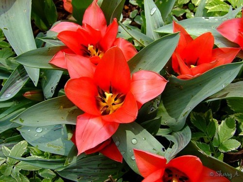 red dwarf tulips