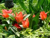dwarf red tulips