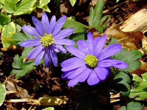 windflowers, anemone