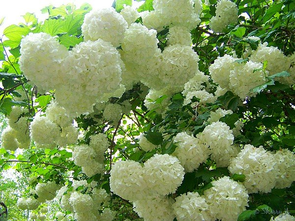 Snowball sherrys place snowball snowball flowers snowball blooming mightylinksfo