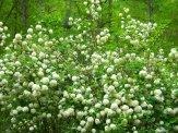 snowball blooming