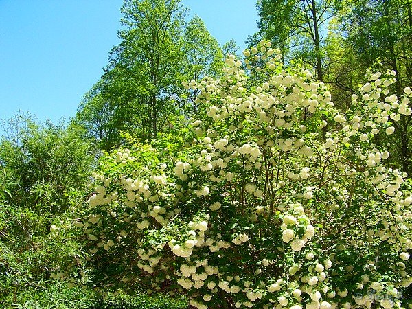 Snowball Viburnum In Bloom Sherry S Place