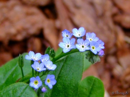 myosotis sylvatica in the secret garden