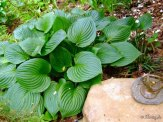 hosta in the secret garden