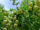 old-fashioned snowball bush