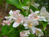 closeup of weigela flowers