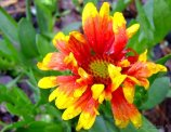 Gaillardia starting to bloom