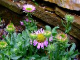 fleabane in rock wall flower bed