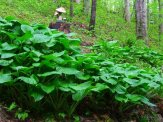 hostas at the edge of the woods