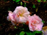light pink double flowered azalea