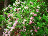 weigela shrub in bloom