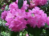 light purple rhododendron