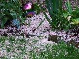 snowball viburnum flower petals