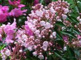 mountain laurel and rhododendron