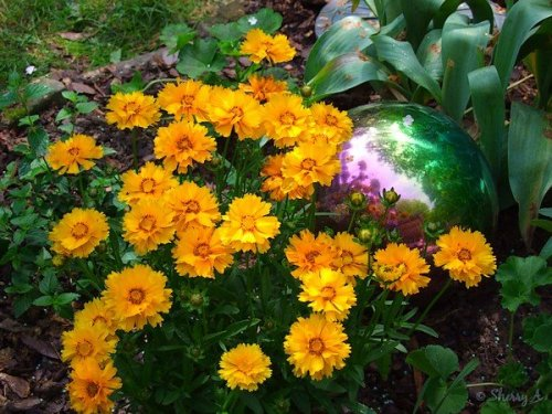 coreopsis and gazing ball