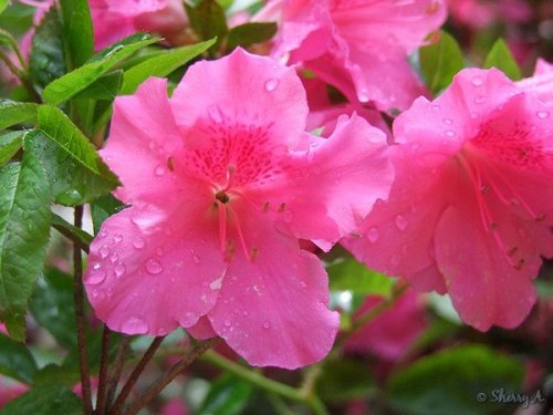 closeup of azalea flowers