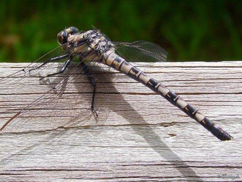 Tachopteryx thoreyi
