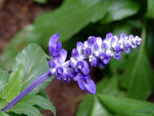 Victoria Blue Salvia