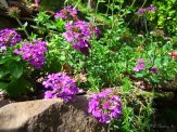 purple verbena