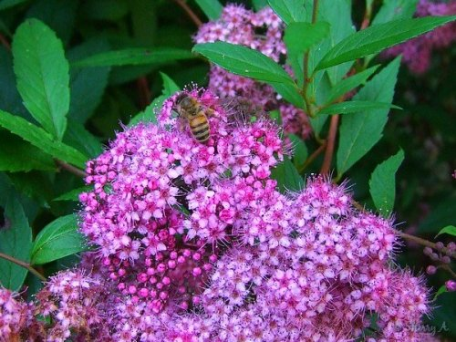 spirea and bee
