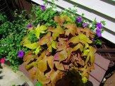 sweet potato vine and petunias