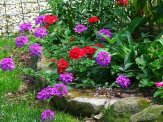 red and purple verbena