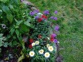 shasta daisies, verbena, coneflowers