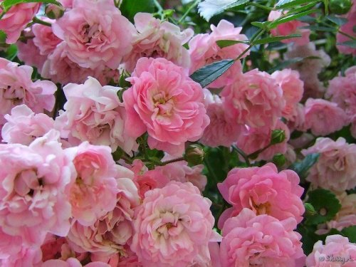pink roses along the fence