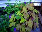 purple petunias and sweet potato vine