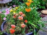 portulaca and gazania flowers