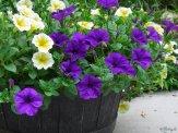 yellow and purple petunias