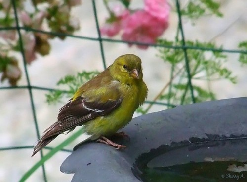 baby goldfinch at bird bath