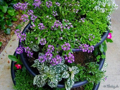 purple and white alyssum, vinca and polka dot plants