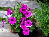 purple and white bicolor petunias