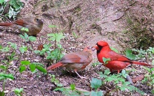 male cardinal feeds baby