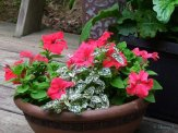 red petunias and white polka dot plants