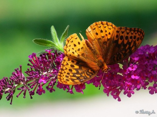 butterfly bush and fritillary