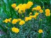 double flowered coreopsis