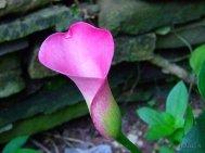 dwarf pink calla lilies