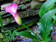 dwarf pink calla and variegated foliage
