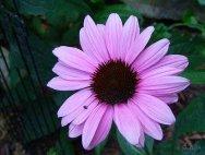 pink dwarf coneflower