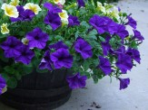 deep purple (and yellow) petunias