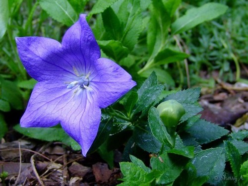 balloon flower and bud